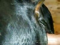 Man Fucks Black Cow Gaybeast - Animal Sex Video
