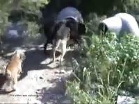 Wolfdog Munching Greeting