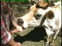 Animal sex cow very nice old cow guy fucks cow cow blows guy bestiality beastiality zoo